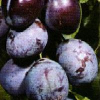 Сорта сливы Ренклод Тамбовский