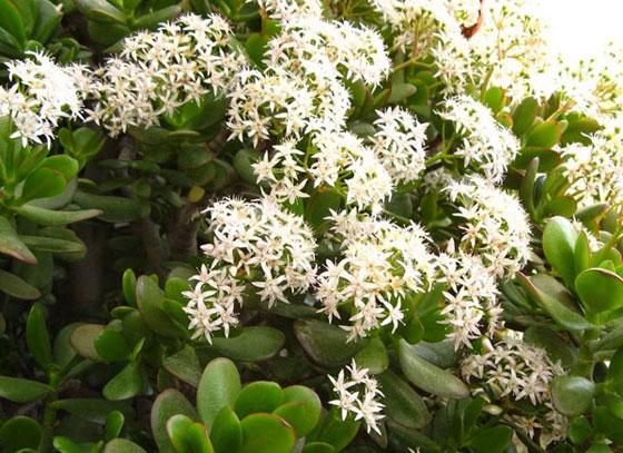 Денежное дерево с цветами фото