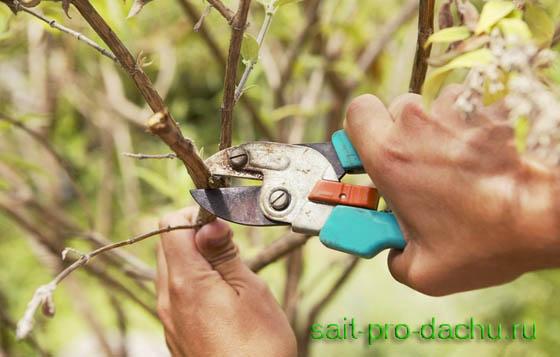 Как осенью обрезают плодовые деревья?