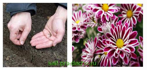 хризантемы размножение семенами