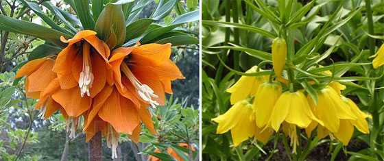 королевский рябчик цветок фото