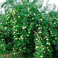Секреты посадки и выращивания карликовых яблонь