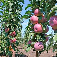 Колоновидные яблони. Особенности подготовки к зимнему периоду