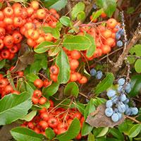 декоративный кустарник с ягодами