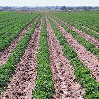 Повышение урожайности картошки