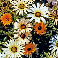 неприхотливые дачные цветы