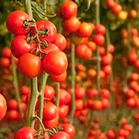 увеличить урожай помидоров