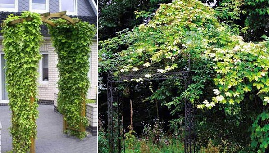 Виды хмеля для выращивания на даче