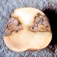 какие бывают болезни картошки