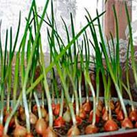 Лук-севок правила посадки весной для начинающий огородников
