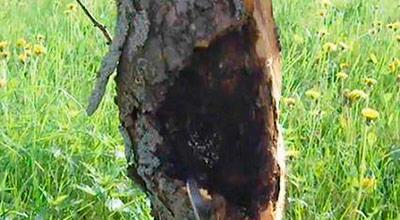 Грибок на корнях деревьев лечить