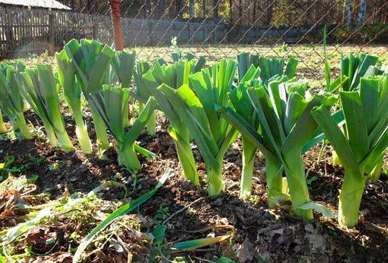 как сеять лук порей на рассаду
