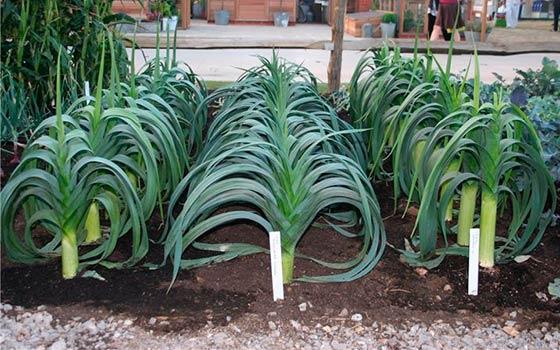 Лук-порей: выращивание от посева до уборки 76