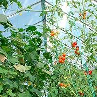 Можно ли сажать огурцы и помидоры вместе