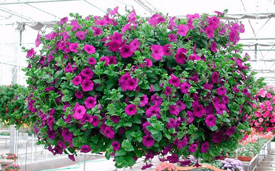 Как правильно осуществлять ампельное выращивание петунии в 78