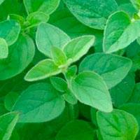 Майоран выращивание из семян: сорта, посадка и уход в открытом грунте, когда собирать и как сушить