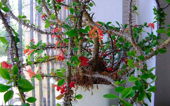 Молочай Миля - Комнатные растения и цветы 98