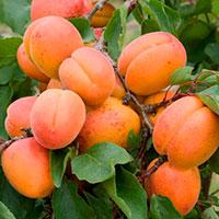 Абрикос или персик в подмосковье