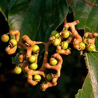 Конфетное дерево говения - фото и описание вкусовые качества видео