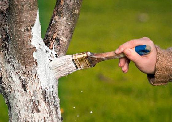 Лечение стволов плодовых деревьев
