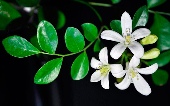 фото растения бергамот