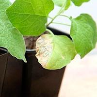 Рассада баклажанов желтеет и сбрасывает листья