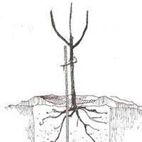 Когда сажать вишню в открытый грунт – весной или осенью