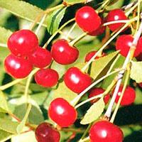 Лучшие сорта вишни для сибири сладкие