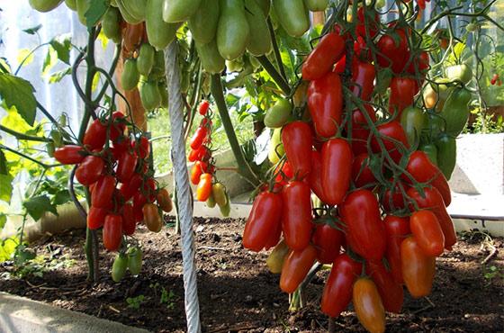 Лучшие сорта томатов для Средней полосы для теплицы и открытого грунта