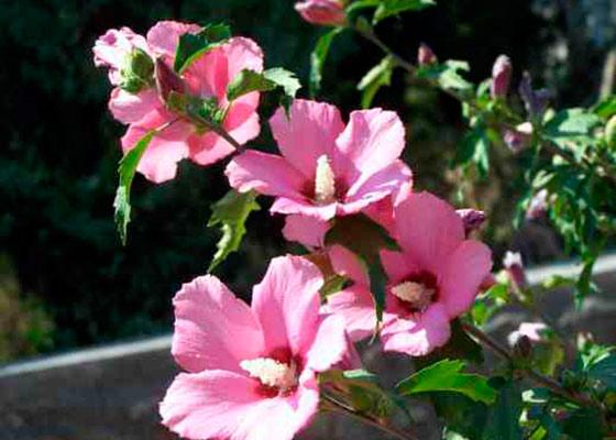 Можно ли выращивать китайскую розу в открытом грунте?