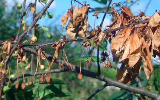 Как бороться с монилиозом вишни
