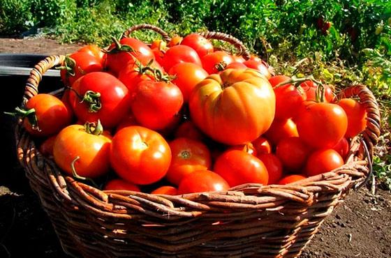 Продажа рассады помидор в подмосковье