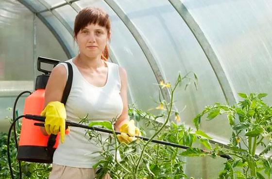 Какие удобрения для помидор в теплице