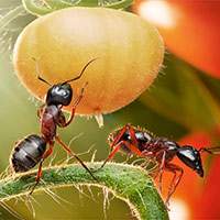 Муравьи в теплице с помидорами
