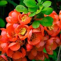 Айва японская: полезные свойства плодов и противопоказания, фото кустарника и его плодов, как их использовать