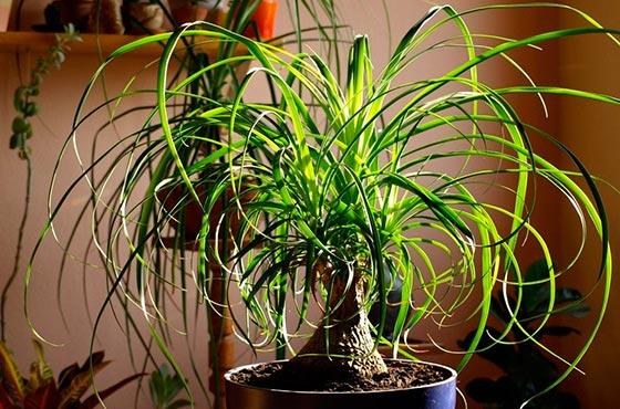 магония из семян в домашних условиях