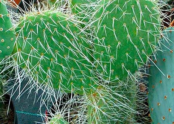 Опунция кактус уход в домашних условиях и размножение