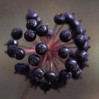 Аралия маньчжурская лечебные свойства противопоказания