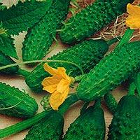 Огурец Зятек F1: описание и рекомендации по выращиванию