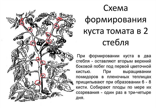 Томат король сибири характеристика и описание сорта урожайность с фото