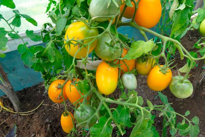 Томат Боец (Буян): характеристика и описание сорта, урожайность с фото и отзывы