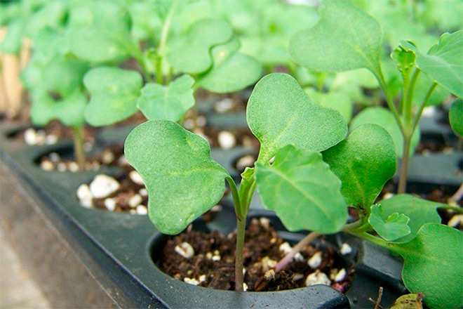 Посадка брокколи в огороде обязательно ли делать это через рассаду