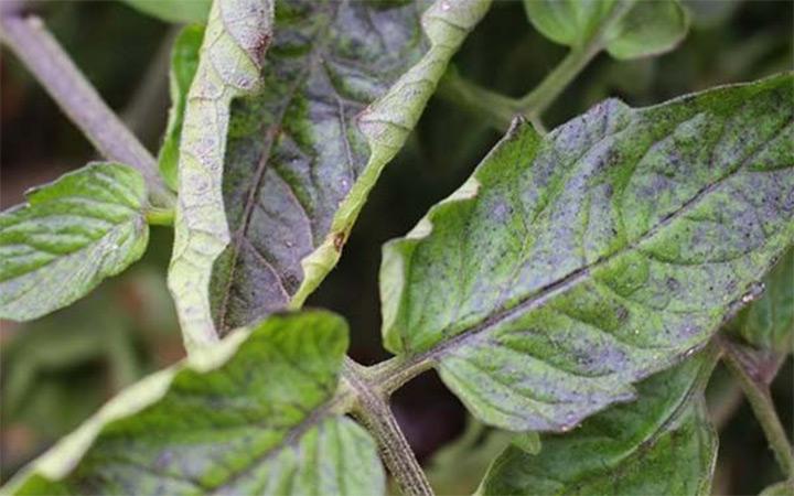почему листья у рассады помидор светло зеленые