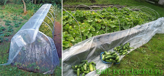 Выращивание огурцов в открытом грунте из рассады