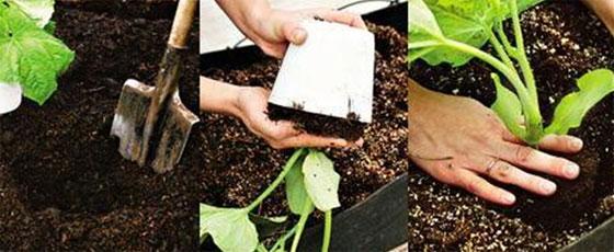 Когда и как высаживать рассаду огурцов