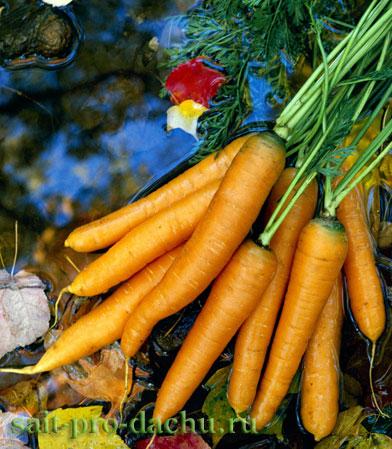 Лук и морковка - соседи на грядке