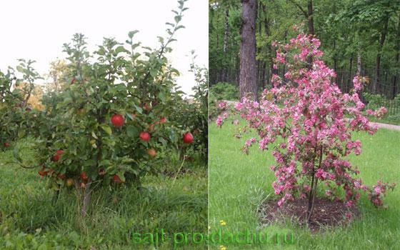 Плюсы и минусы при выращивании карликовых яблонь