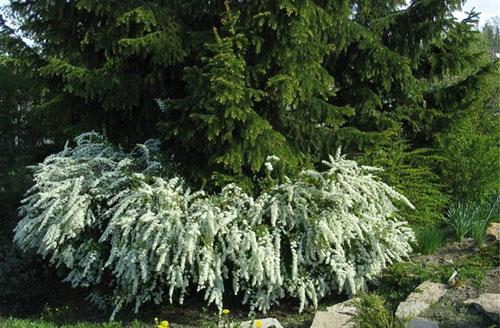Спиреи — великолепные кустарники для