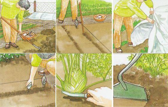 Выращиваем фенхель флорентийский