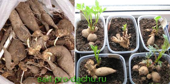 Выращивание георгинов
